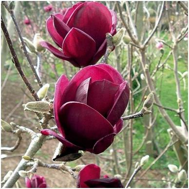 Magnolija 'Black Tulip' C5 2