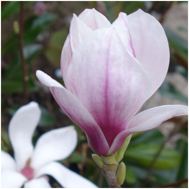 Magnolija sulanžo C5 2