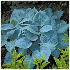 Melsvė 'Fragrant Blue' C2