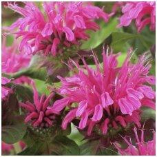 Monarda 'Pink Lace' C2