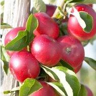 Obelis koloninė (rudeninė) 'Elina', C5