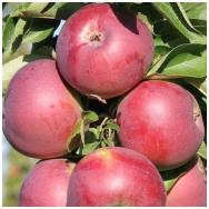 Obelis koloninė (rudeninė) 'Inesė' C5