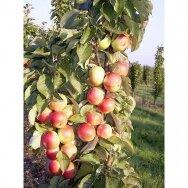 Obelis koloninė (rudeninė-žieminė) 'Mango', C5