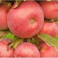 Obelis koloninė (žieminė) 'Anda', C5
