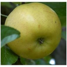 Obelis 'Beržininkų ananasinis' C5