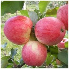 Obelis (vasarinė) 'Doč Melby' C5