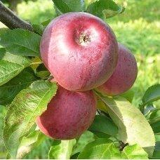 Obelis koloninė (rudeninė) 'Anite', C5