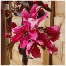 Obelis koloninė (rudeninė) 'Maypole' C5