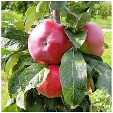 Obelis koloninė (rudeninė) 'Ostankino' C5