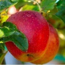 Obelis koloninė (rudeninė-žieminė) 'Duet', C5