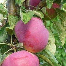 Obelis koloninė (vasarinė) 'Kičinos vasarinė', C5