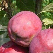 Obelis koloninė (vėlyva vasarinė) 'Dejavu', C5