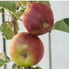Obelis koloninė (vėlyva vasarinė) 'Vasiugan', C5