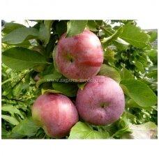 Obelis koloninė (žieminė) 'Ilze' C5