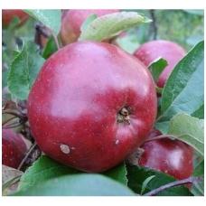 Obelis (žieminė) 'Antėj' C5