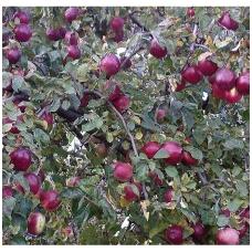 Obelis (žieminė) 'Belaruskoje malinovoje' C5