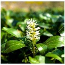 Pachisandra viršūninė 'Green Carpet' C2