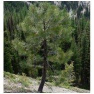 Ponderosa Pine C2