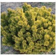 Mountain pine 'Gold Star' C5