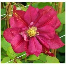Clematis 'Red Star' C10