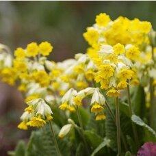 Raktažolė pavasarinė 'Cabrillo yellow', C2