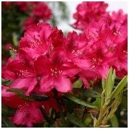 Rododendras 'Nova Zembla' C5