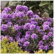 Rhododendron 'Ramapo' C10