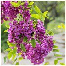 Robinija 'Purple Robe' C5