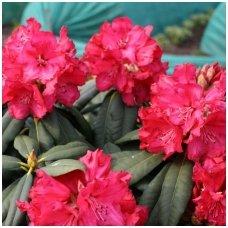 Rododendras 'Andantino' C5