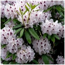 Rododendras 'Calsap' C5