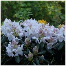 Rododendras 'Catawbiense Album' C15