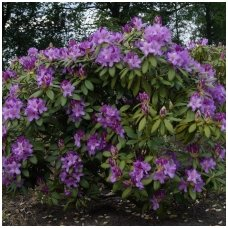 Rododendras 'Catawbiense Boursault' C5