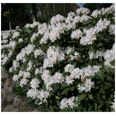 "Rododendras 'Cunningham""s White' C10"