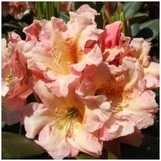 Rododendras 'Flautando' C5