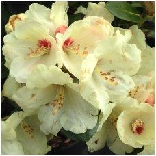 Rododendras 'Flava' C5