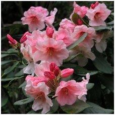 Rododendras 'Hania' C5