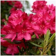 Rododendras 'Nova Zembla' C15