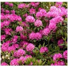 """Rododendras """"Roseum Elegance"""" C10"""