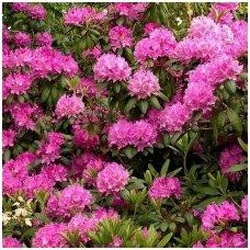 Rododendras 'Roseum Elegance' C15