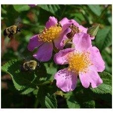 Rožė prerijų vijoklinė C10