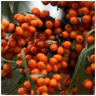 Sea buckthorn 'Friesdorfer Orange' C2