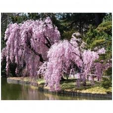 Sakura 'Beni-shidare' C10 Pa