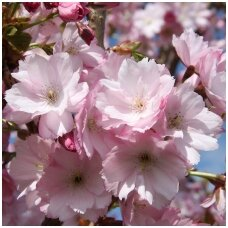 Sakura 'Beni-yukata' C10