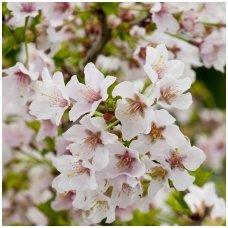 Sakura'Kojou-no-mai' C10