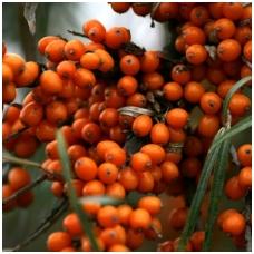 Šaltalankis dygliuotasis 'Friesdorfer Orange' C2
