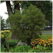 Šaltekšnis paprastasis 'Aspleniifolia' C4