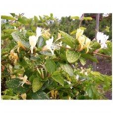 Sausmedis japoninis 'Aureoreticulata' P9