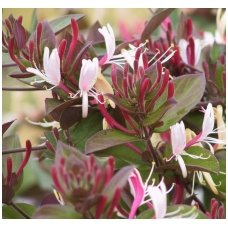 "Sausmedis japoninis ""Purpurea"" C2"