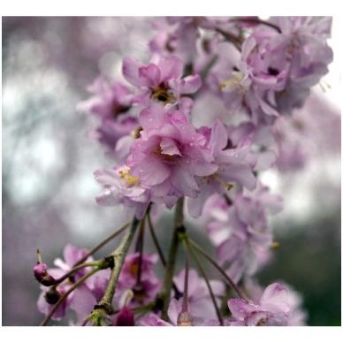 Sakura 'Beni-shidare' C5 2