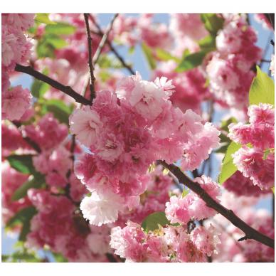 Sakura 'Pink Perfection' C2